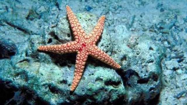 A tengeri csillag állat vagy növény?