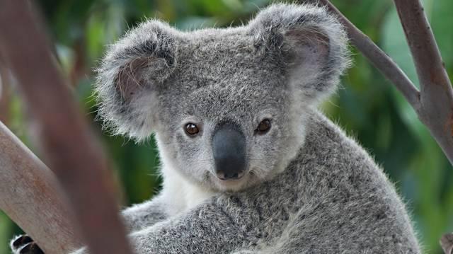 Hány órát alszanak a koalák egy nap?