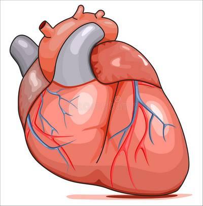 Hány üregű az emberi szív?