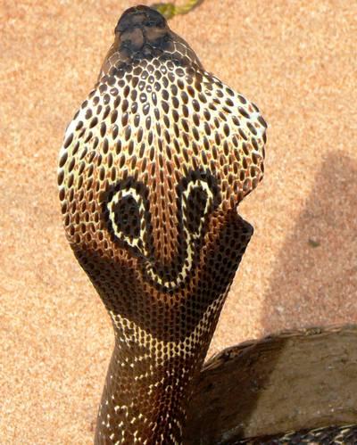 Hány centiméter hosszú  átlagosan a pápaszemes kobra?