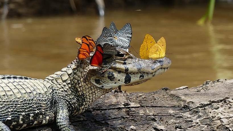 Ezek közül melyik egy kisebb krokodilfajta neve?