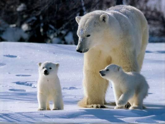 Mi a jegesmedve fő tápláléka?