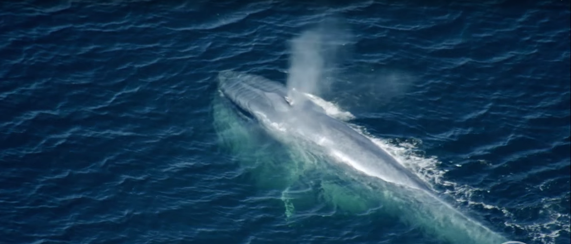 Hány tonna egy kifejlett kék bálna?