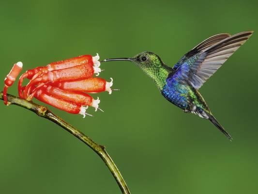 Melyik kontinensen honos a kolibri madár?