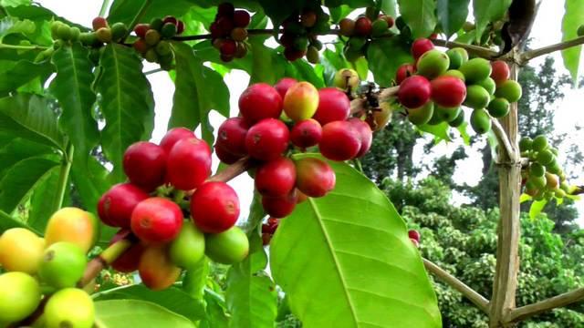 Melyik ország a világ legnagyobb kávé termelője?