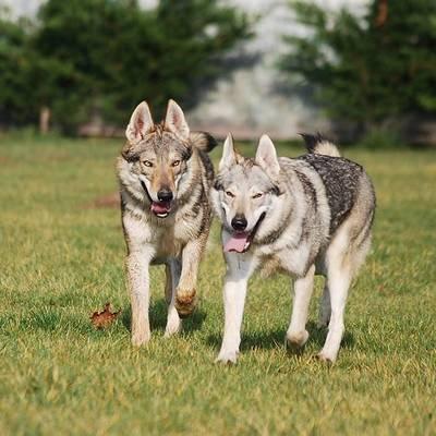 farkas kutya