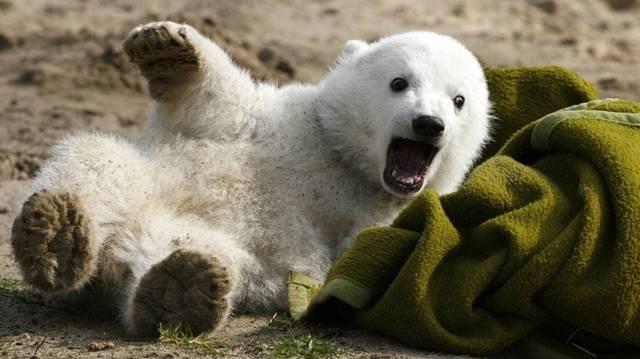 Ő a Berlini Állatkert híres jegesmedvéje