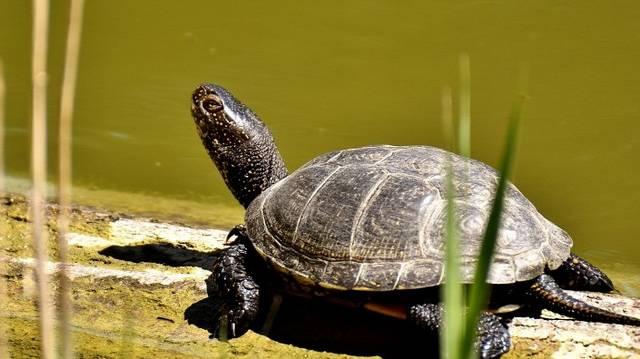 Téli álomban hol lélegeznek a teknősök?