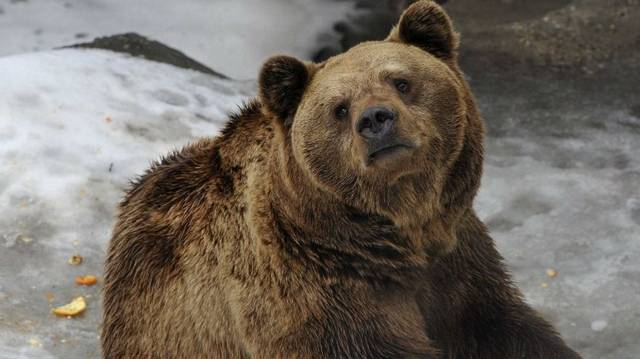 Mit eszik a medve?