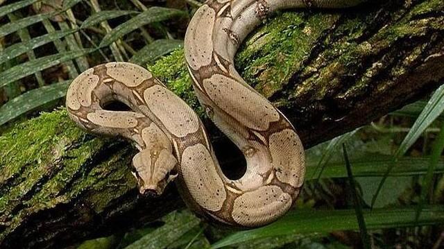 Óriáskígyó