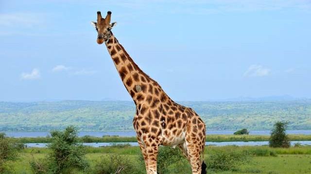 A zsiráf a megoldás!