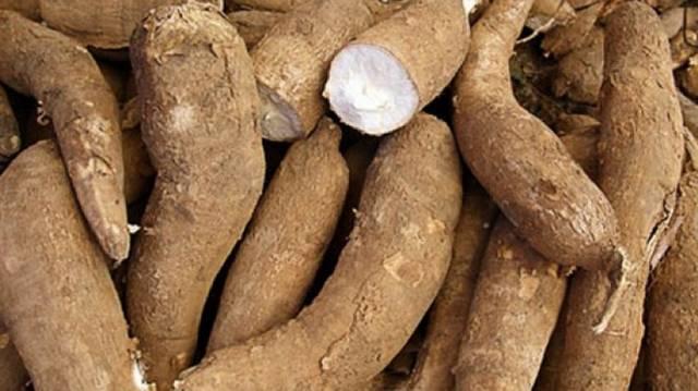A manióka, más néven tápióka, a kutyatejfélék családjába tartozó növényfaj. Ehető gumós gyökere a világ negyedik legjelentősebb kalóriaforrása az emberiség számára a rizs, a cukor és a kukorica után.