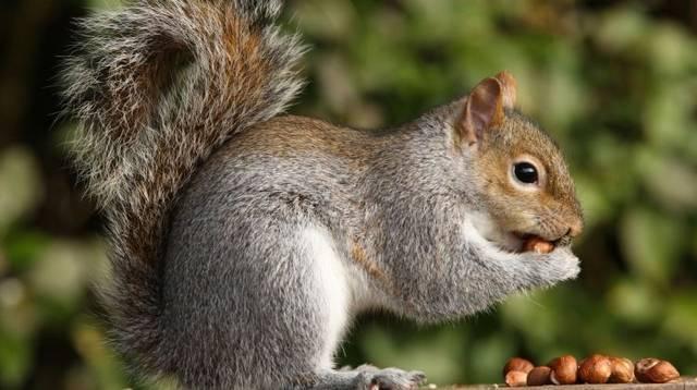 A mókus kedvence a toboz, képes egy nap, több mint 100 db-ot megenni belőle.