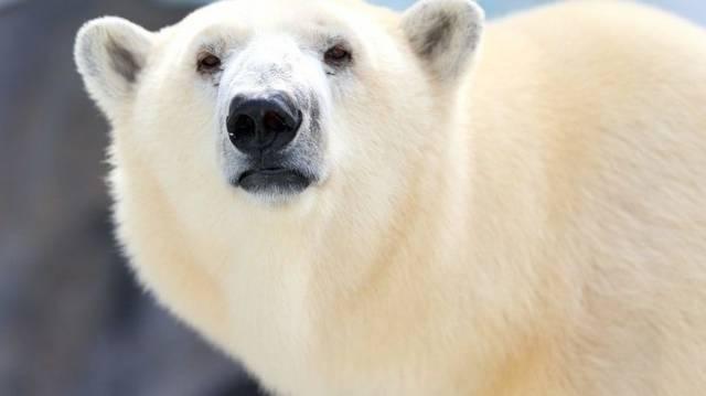 Igaz e, hogy a jegesmedve téli álma a leghosszabb?