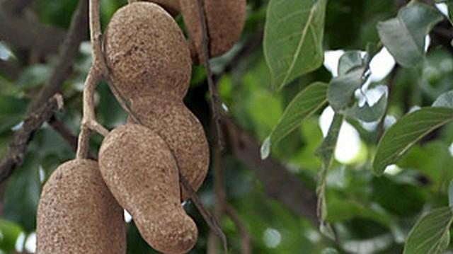 A képen a kolbászfa (nem ehető) termése látható, amelyről a fa kapta a nevét. Vajon melyik kontinensen honos meg ez a fa?