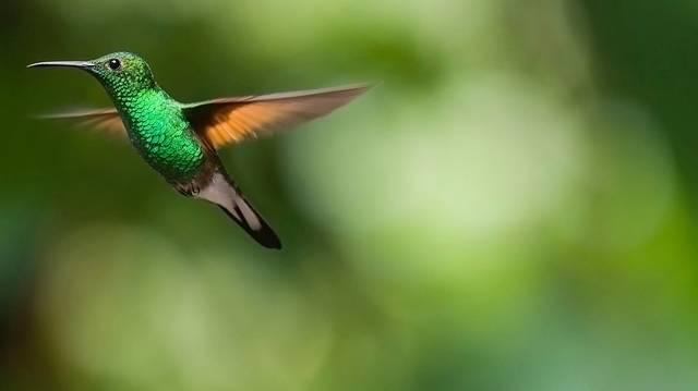 Melyik igaz a kolibrire?