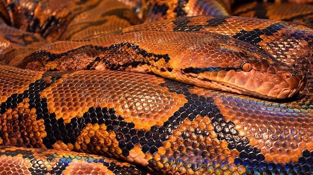 Melyik a Föld leghosszabb kígyója?
