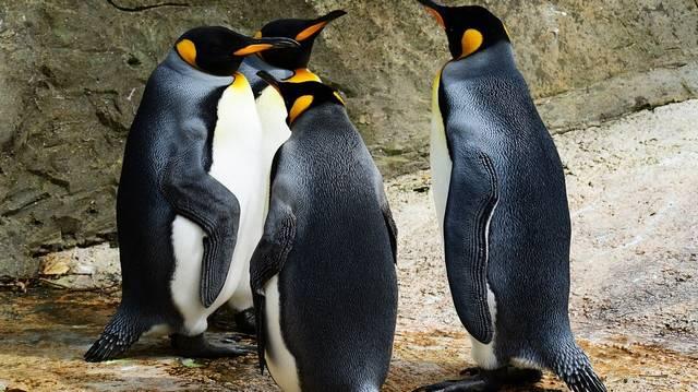 Sir Nils Olav névre hallgat az a pingvin, amit lovaggá ütöttek. Vajon melyik országban történt ez?