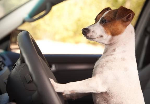 Egy kutyát látsz vezetni aki nagy sebességgel megy a Dunába. :D Mit teszel?