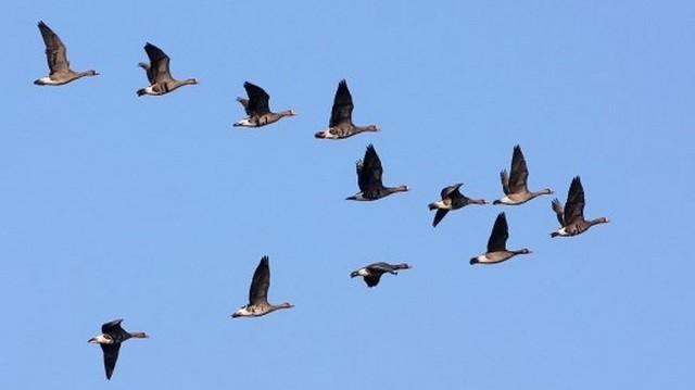 Melyik költöző madár a felsoroltak közül?