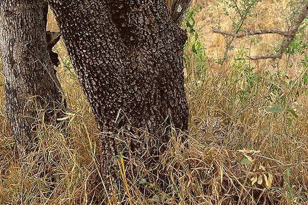 Melyik vadmacskát látod?