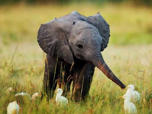 Hány hónapig vemhes az elefánt?