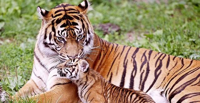 Mi a bengáli tigris másik neve?