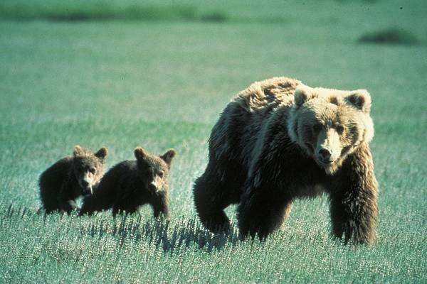 Hol honos a grizzly medve?