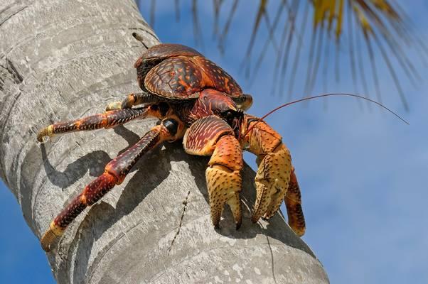 A pálmatolvaj az ízeltlábúak törzsébe a felsőbbrendű rákok osztályába tartozó faj.