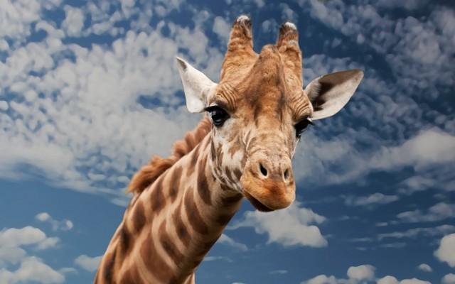Sokféle háziállatról hallottunk, na, de zsiráf?