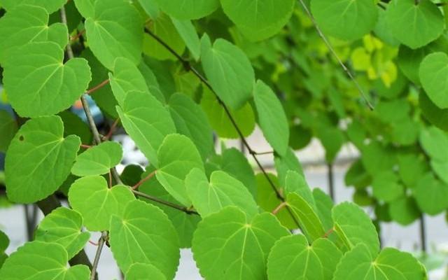 Kacurafa: Délkelet-Ázsiában őshonos lombhullató fa