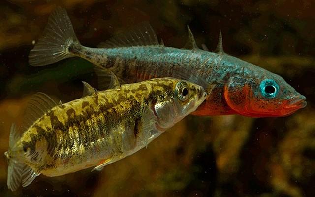 Tüskés pikó: az északi félteke belvizeiben előforduló hal.