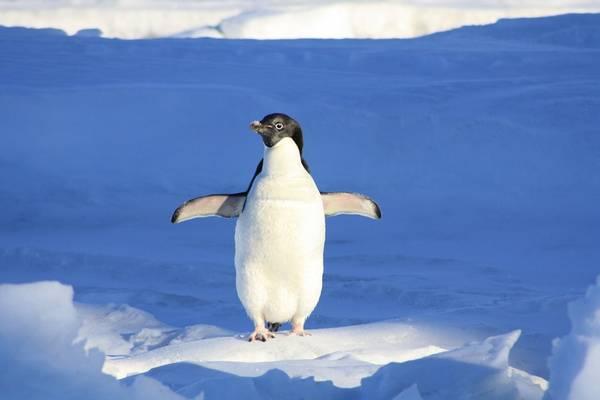 Hol él pingvin?