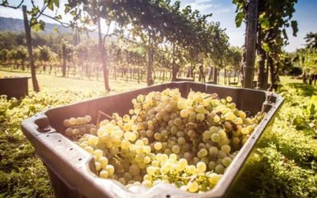 Indul a szavazás: melyik a legjobb Balaton-felvidéki bor?