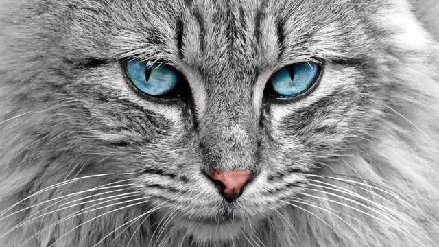 A felsoroltak közül, melyik macskafajta?
