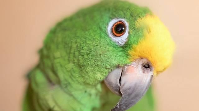 Az amazonpapagájok kitűnő hang- és beszédkészséggel megáldott jószágok, és bár néha kicsit zsémbesek, azért igazán szeretetre méltóak.