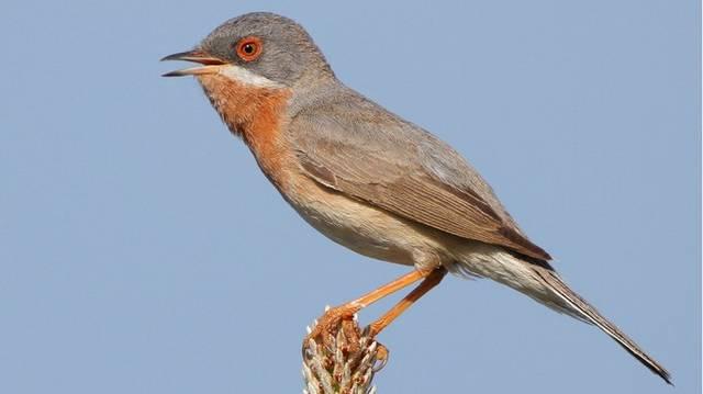 A madarak osztályának verébalakúak rendjébe és az óvilági poszátafélék családjába tartozó faj.