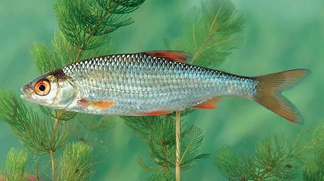 Hal. Minden vizünkben él, a Velencei-tóban például tömegesen.