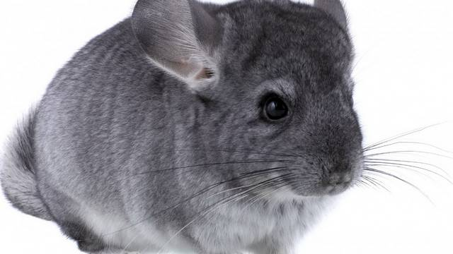 A csincsilla vagy gyapjas csincsilla az emlősök osztályának a rágcsálók rendjébe, ezen belül a csincsillafélék családjába tartozó faj.