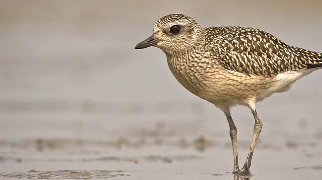 Madár. Kavicsos vízpartokon, halastavakon és szikestavaknál él.
