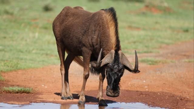 Ez az antilop egyike a két gnúfajnak, a másik amúgy a csíkos gnú.