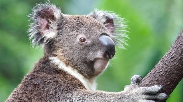 Ausztráliában őshonos erszényes, növényevő állat
