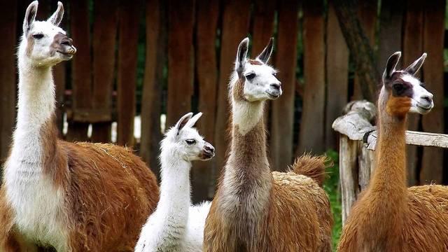 Emlős. A láma a dél-amerikai tevefélék 4 faja közül a legismertebb.