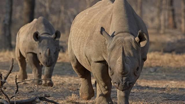 Más néven orrszarvú. Agresszív állat, több emberrel végez évente Nepálban és Indiában, mint a tigrisek vagy a leopárdok.