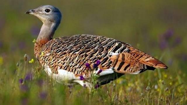 Madár. A magyar természetvédelem egyik emblematikus faja.