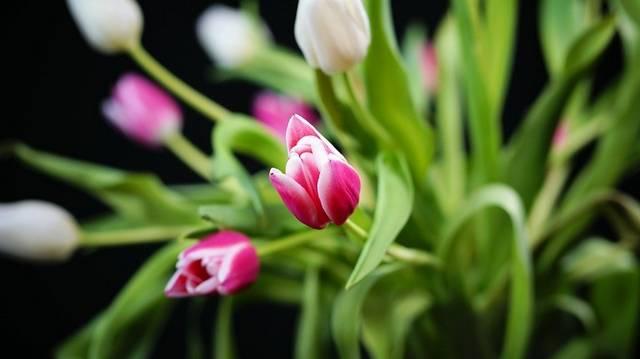 A tavasz kezdetének egyik jellegzetes virága a tulipán. Melyik igaz rá az alábbiak közül?