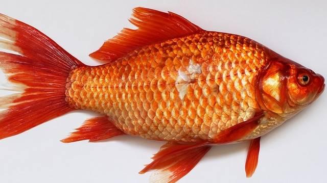 Mitől síkos a halak bőre?