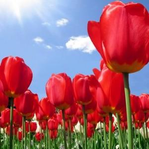 A tulipán virágzik legkorábban?
