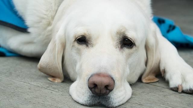 Április 27. a vakvezető kutyák világnapja. Az alábbiak közül általában melyik nem vakvezető?