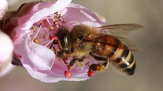Április 30. a méhek napja Magyarországon. Hogy hívják a fullánk nélküli méhet?